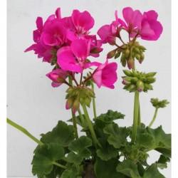 Gerani - Pelargonium x...