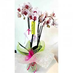 Orquídia natural de tres vares