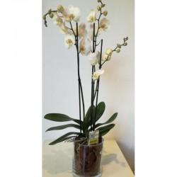 Orquídia amb vidre